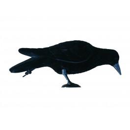 Corbeau qui picore